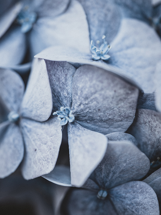 Macro photo of a flower in desaturated blue