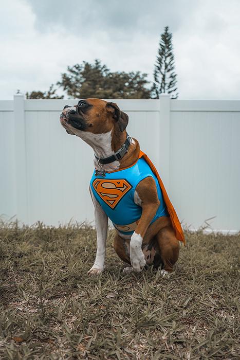 A cute dog dressed in a Superman costume