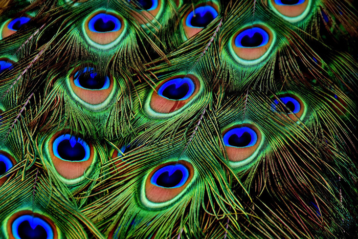 Photo of colorful peacock feathers