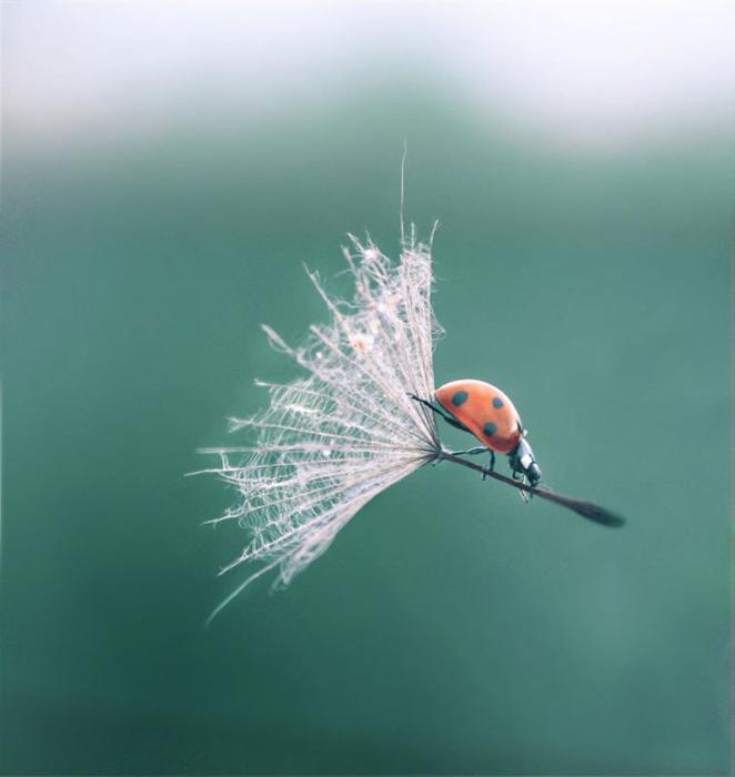 Photo of a ladybug riding a flower