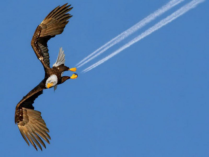 Perfectly timed photos of an eagle flying with airplanes trails from his feet