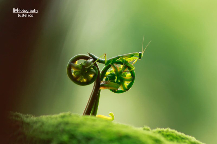 Photo of a mantis looking like it is riding a bike