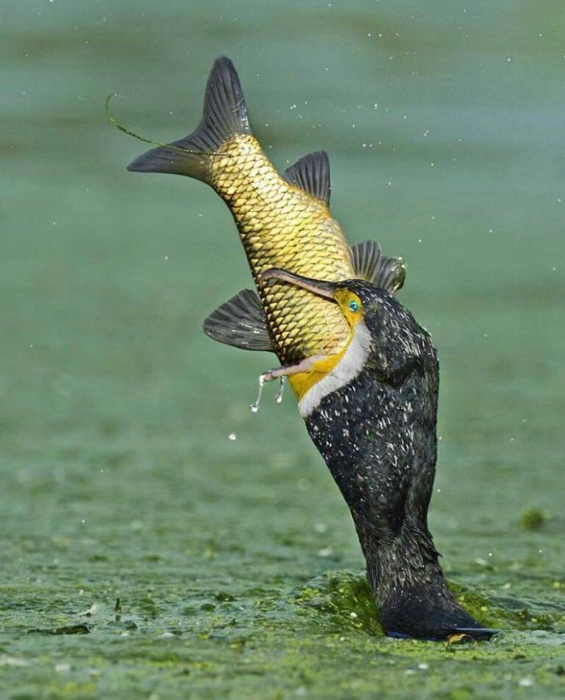 Photo of a bird catching a fish