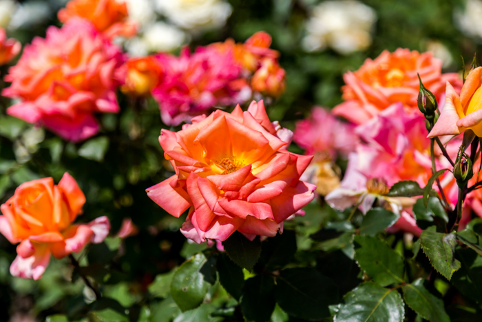 Close-up photo of colorful roses