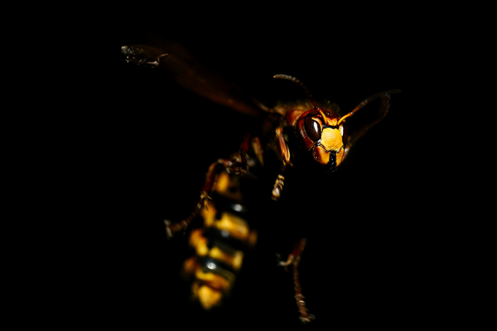 dramatic close up of a wasp against dark background