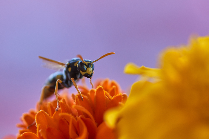 a close up of a wasp on a flower, unique photos ideas