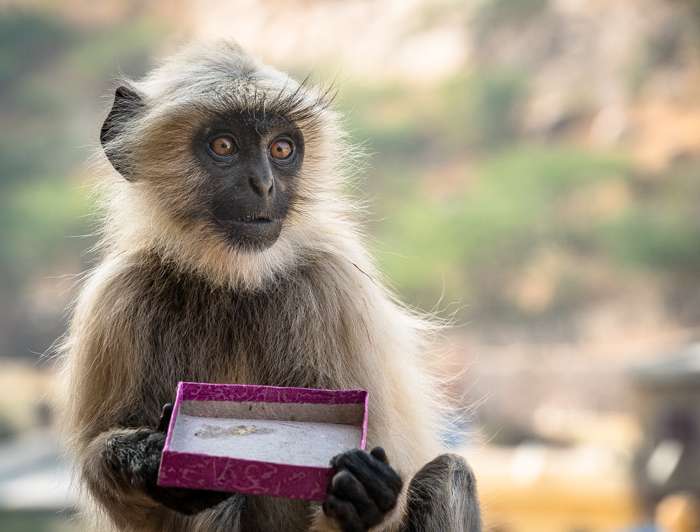 Cute Hanuman langur monkey in Jaipur, India eating a box of sweets