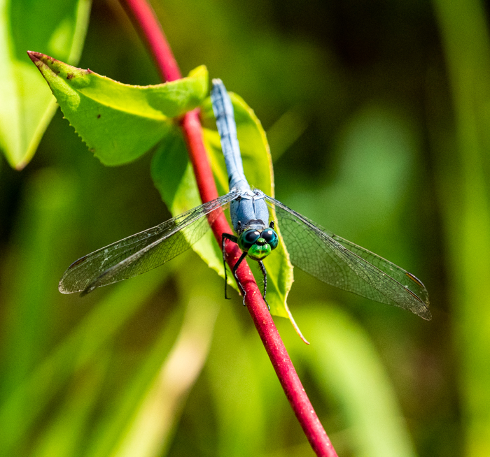 Blue dragonfly in Illinois conservation area.