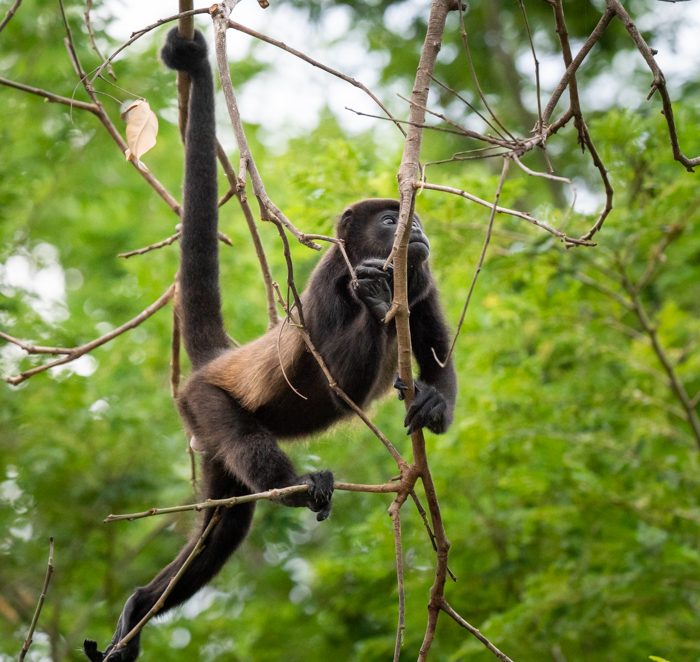 Howler monkey in the trees of Costa Rica