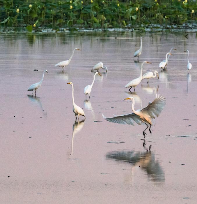 Egrets at a lake