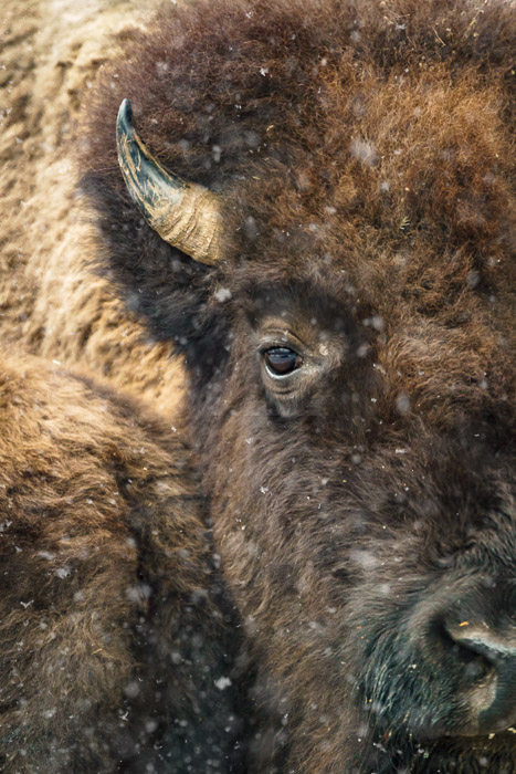 Close up image of a bison
