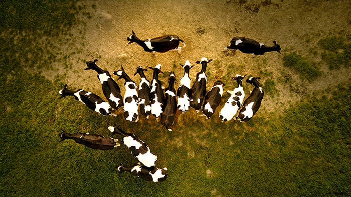 A drone photo of goats grouping up