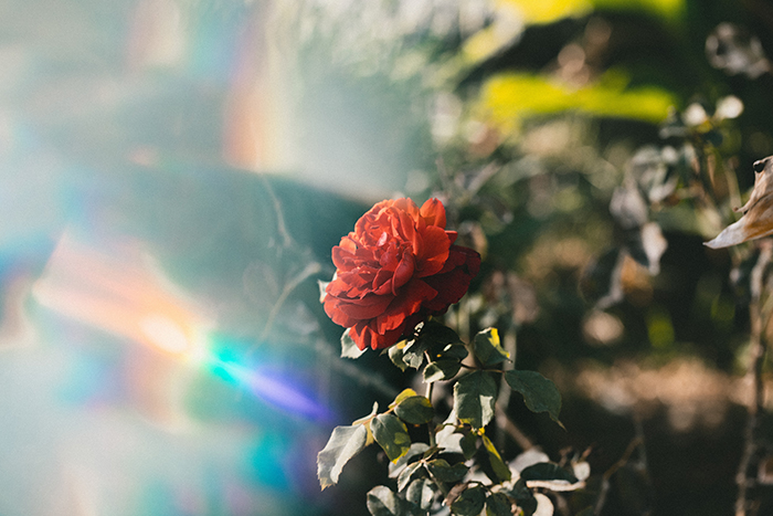 Photo of a red rose with light leaks