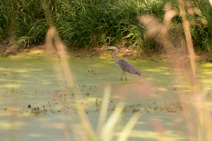 a wading heron shot with 16mm telephoto lens