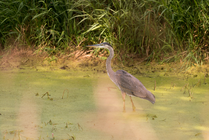 a wading heron shot with 300mm telephoto lens