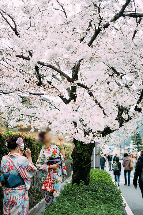 Japanese girls in traditional clothes under a cherry blossom tree