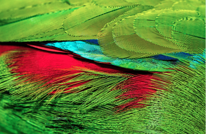 the brightly colored feathers of a tropical bird featuring moire effect