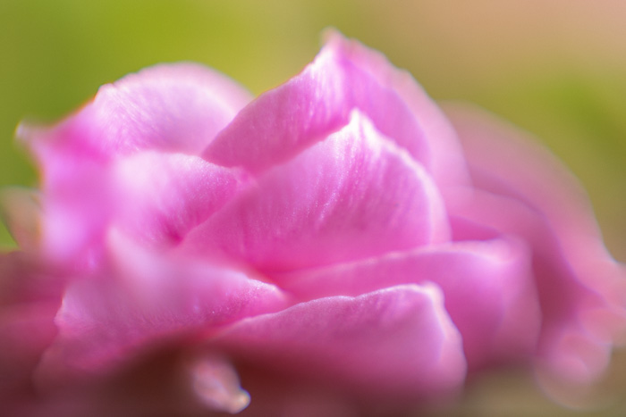 a pink flower shot with a macro bellows extended only to 40mm