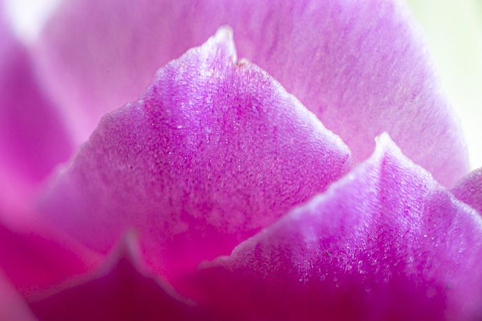 a macro photo of a flower shot using a macro bellows