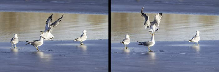 Two photos of seagulls fishing on a beach