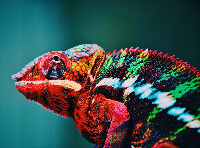 Close-up photo of a colorful chameleon