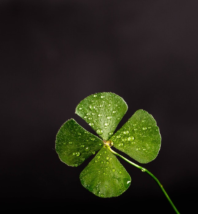 Macro photo of a green four-leaf clover