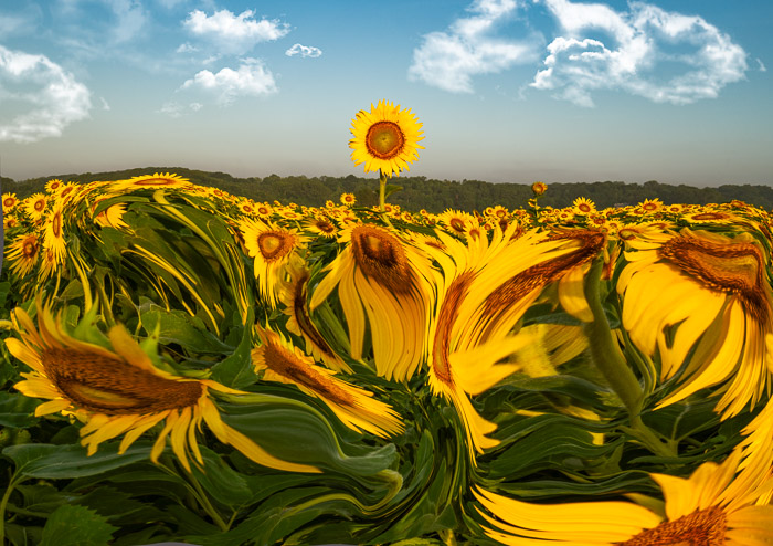 Abstract photo of a field of sunflowers