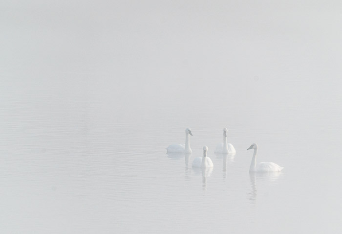 Four swans in a lake