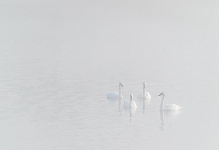 Quatro cisnes em um lago