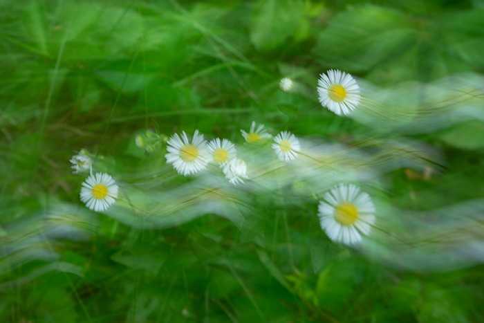 blurry photo of daisies