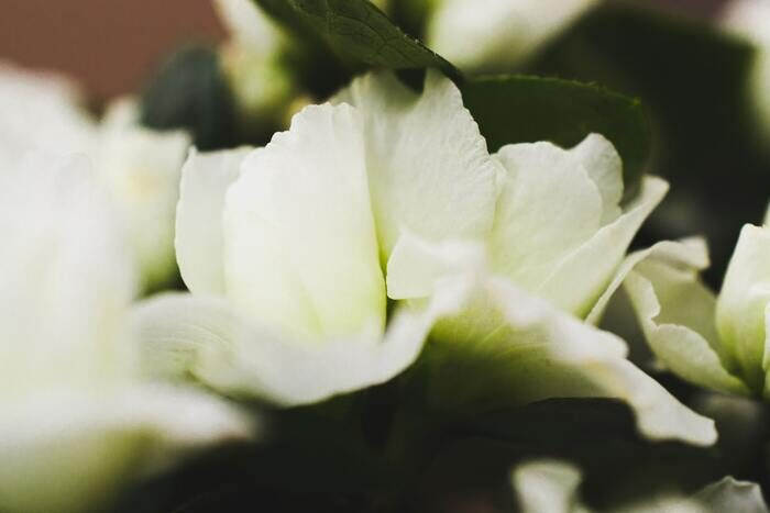 Macro photo of white flowers