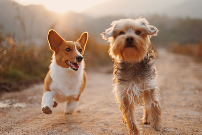 Two little dogs running