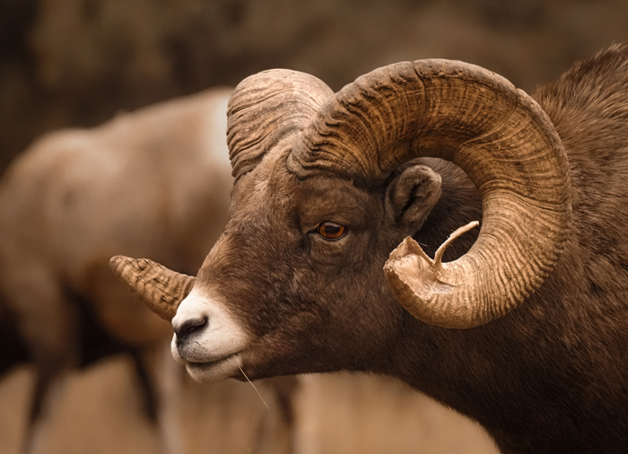 A ram with large horns