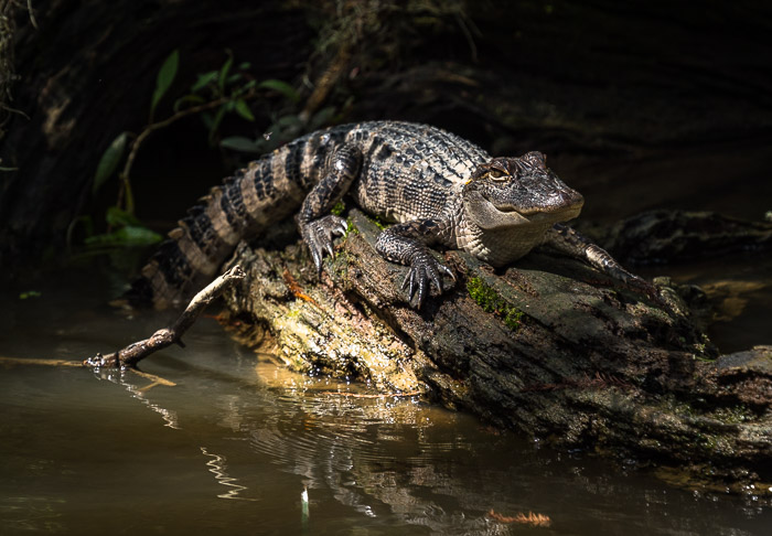 An alligator in the Louisiana swamps
