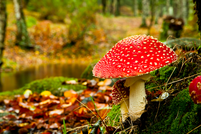 closeup of a fly-agaric in a forest