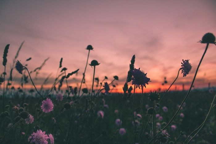 photo of the sun setting above a field of flowers