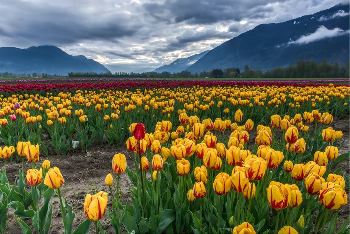 photo of a field of yellowish tulips with mountains in the background
