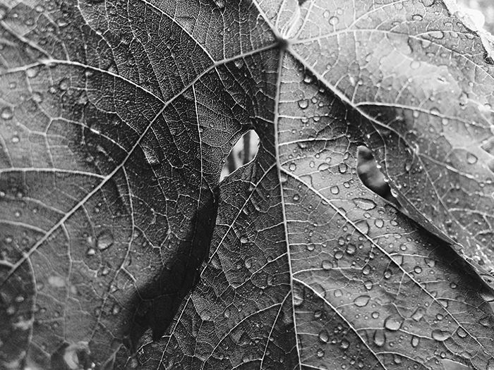 Leaves with raindrops in black and white.