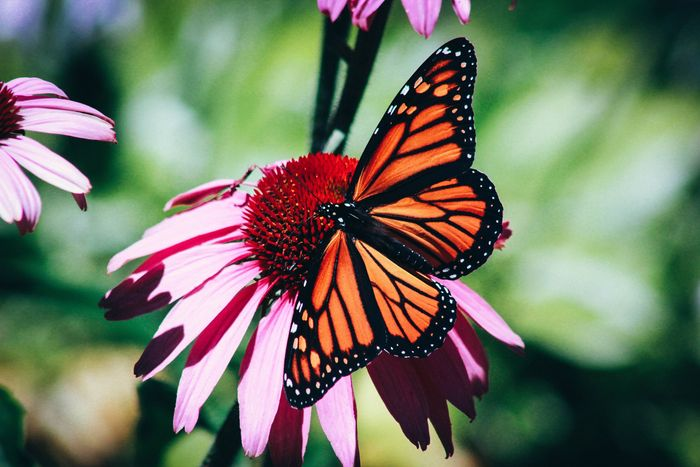 close-up photo of a butterfly sitting on a pink flower
