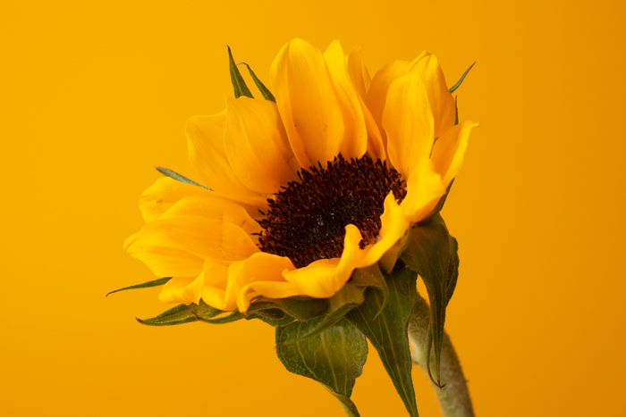 Sharp image of a sunflower