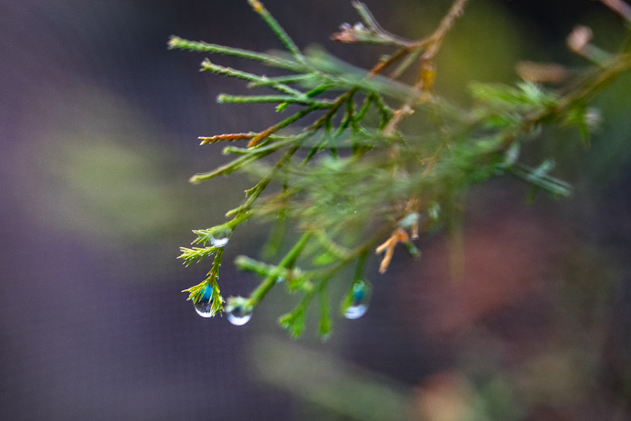 Evergreen in the rain with shallow depth of field.