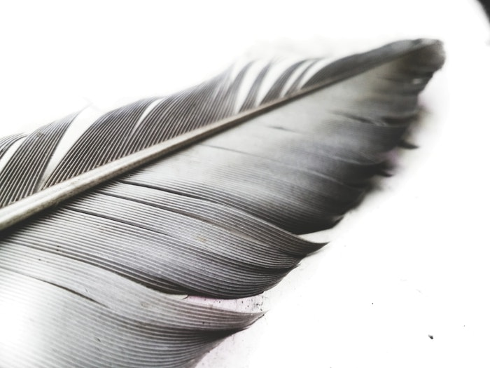 A close up of the tip of a feather