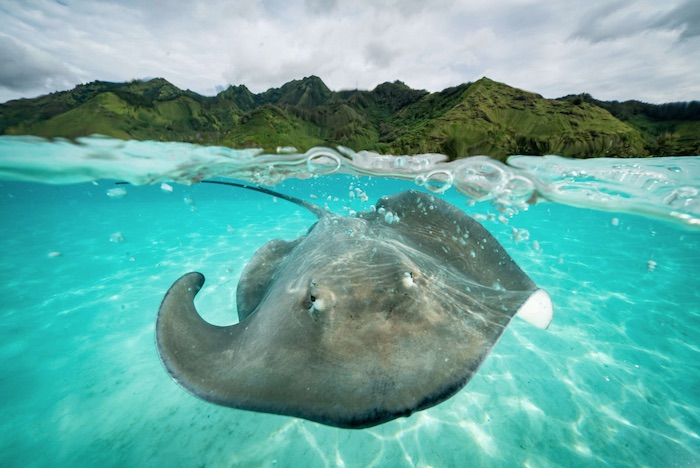 A giant stingray swimming close to the surface