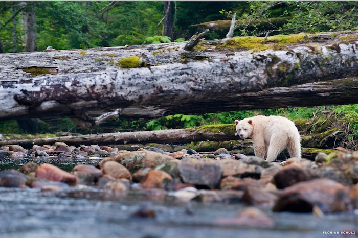 A bear walking by a river by wildlife photographer Florian Schultz