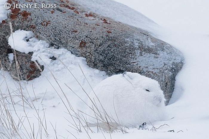 A rabbit in snow by nature and wildlife photographer Jenny E. Ross