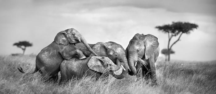 Four elephants laying by wildlife photographer Marina Cano