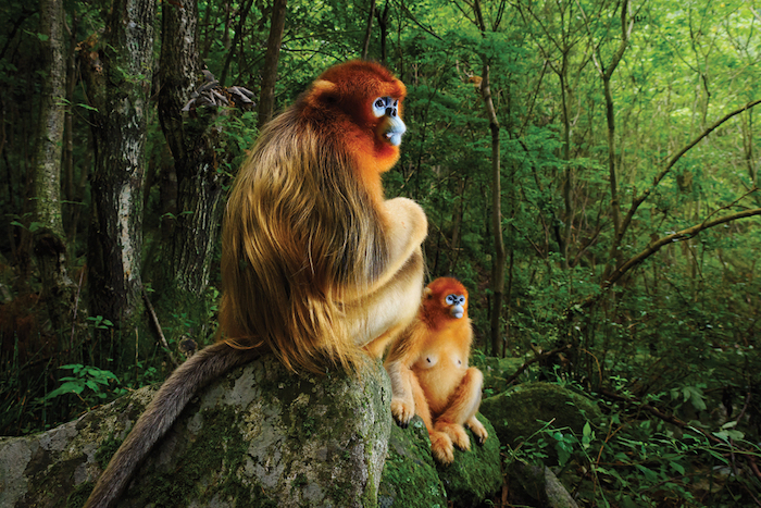 The endangered Yunnan Snub-nosed Monkey