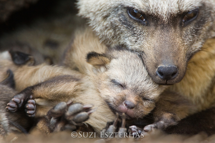 A mother cudling a baby wolf by nature photographer Suzi Eszterhas