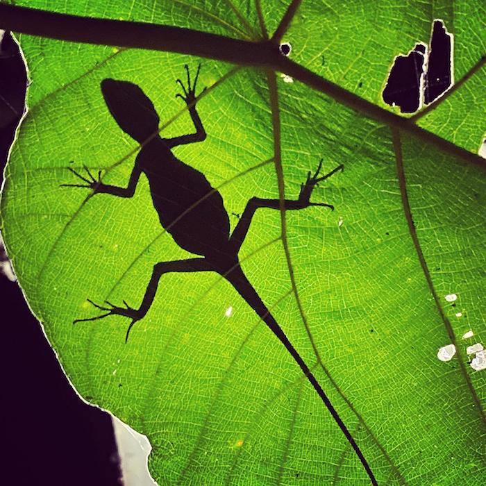 Silhouette of a lizard on a leaf by wildlife photographer Sandesh Kadur