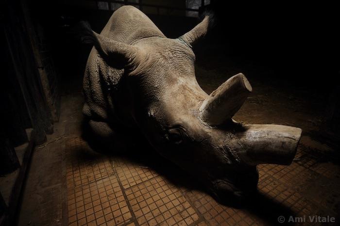 A Rhino with cut horns